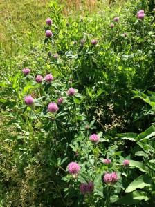 ピンクの丸いお花